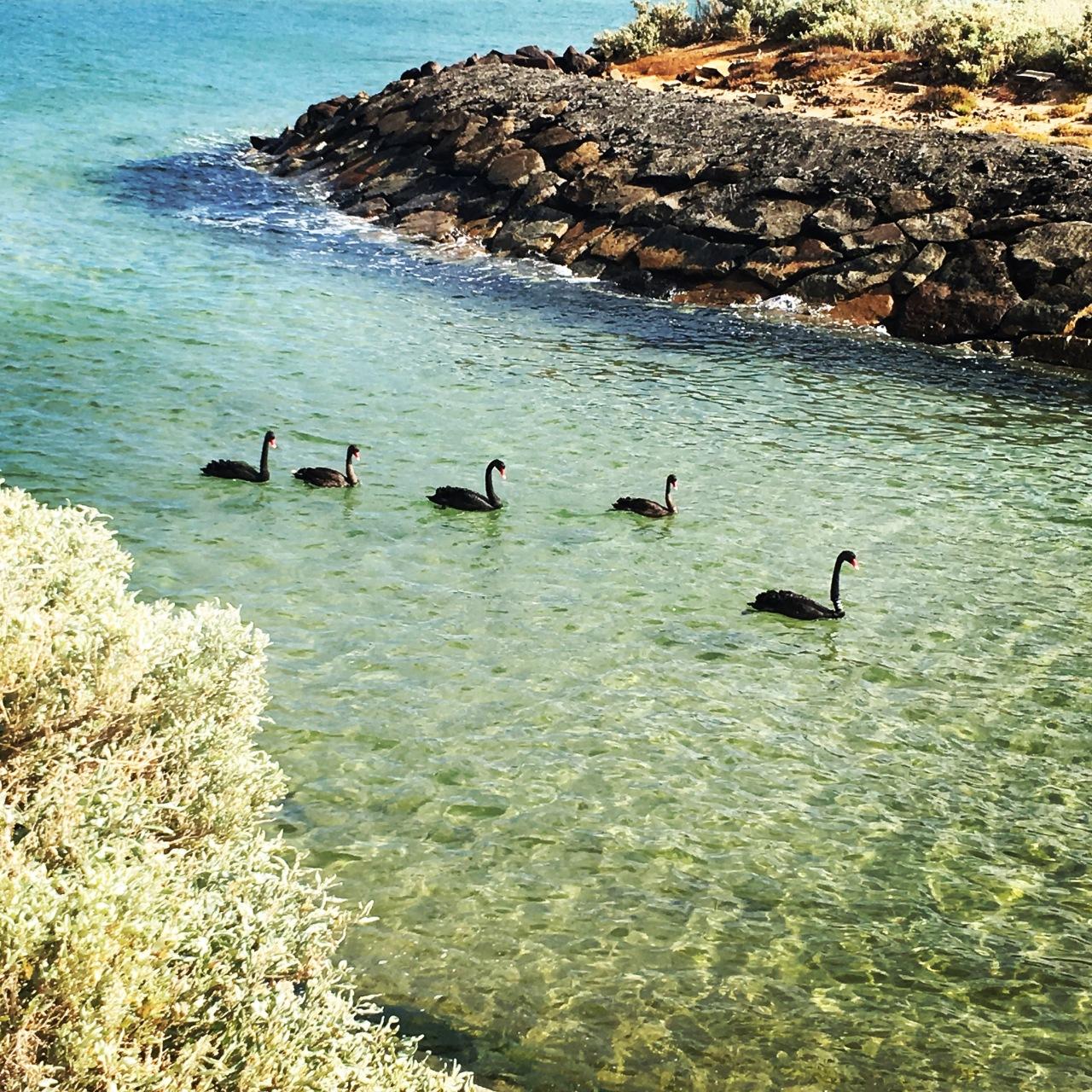 Elwood swans